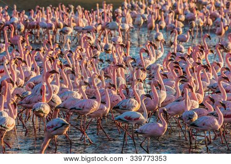 Interesting and useful birdwatching. Huge colony of pink flamingos. Gorgeous birds feed in the shallow water of the Swakopmund. Namibia. Ecological, active and photo tourism concept