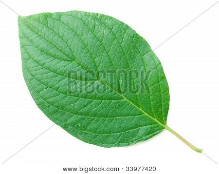 A Leaf Of A Common Dogwood Shrub