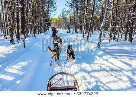 Great ride on sled dogs. Lapland, Finland. Finnish Husky Sled Dog. The snow-covered coniferous forest. The winter polar sun lows above the horizon. The concept of active tourism