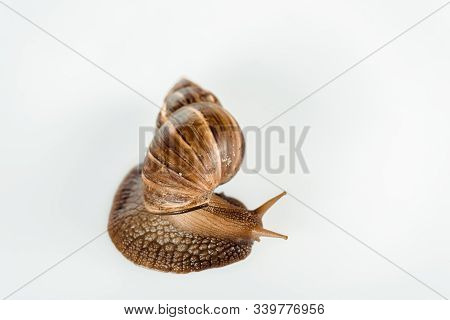 Top View Of Slimy Brown Snail Isolated On White