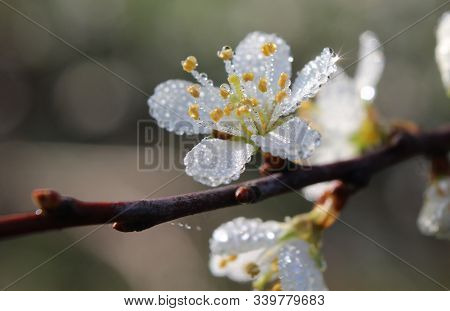 Beautiful Dew Covered Single White Flower Of Prunus Spinosa On A Spring Morning.
