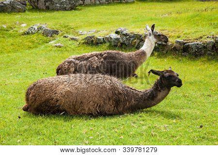 Lama  in front of Machu Picchu, Cusco Region Peru, South America.