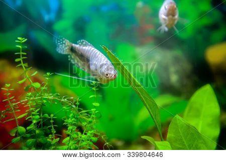 Blue Gourami Aquarium Fish In A Home Decorative Aquarium - Bright Tropical Fish On A Background Of G