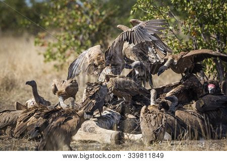 Group of White backed Vultures scavenging a dead giraffe in Kruger National park, South Africa ; Specie Gyps africanus family of Accipitridae poster