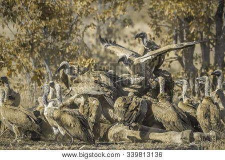 White Backed Vulture Group Scavenging Giraffe Carcass In Kruger National Park, South Africa ; Specie