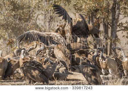 White backed Vulture group scavenging giraffe carcass in Kruger National park, South Africa ; Specie Gyps africanus family of Accipitridae poster