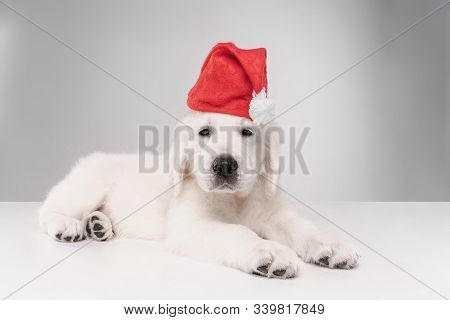 Happy New Year. English Cream Golden Retriever. Cute Playful Doggy Or Pet Looks Cute On White Backgr