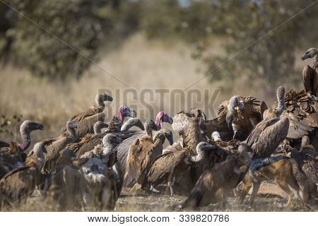 Lappet Faced Vulture In Middle Of Group Of White Backed Vultures Scavenging A Giraffe Carcass In Kru