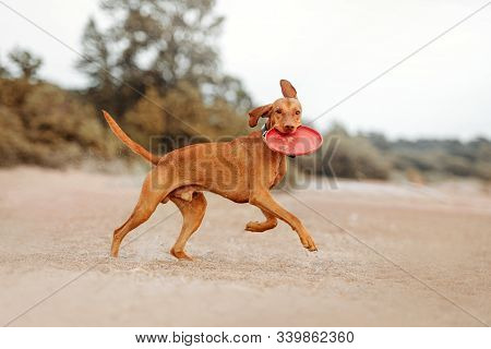 Happy Vizsla Dog Running On A Beach With A Flying Disc