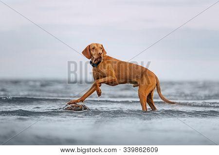 Hungarian Vizsla Dog Posing On A Rock In The Sea