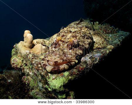 Indian ocean crocodilefish
