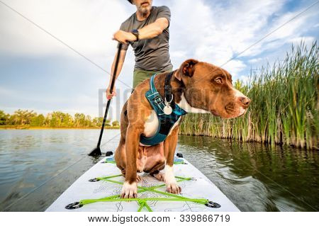 paddling inflatable stand up paddleboard with a pitbull dog on lake in Colorado, summer scenery, recreation with a pet concept