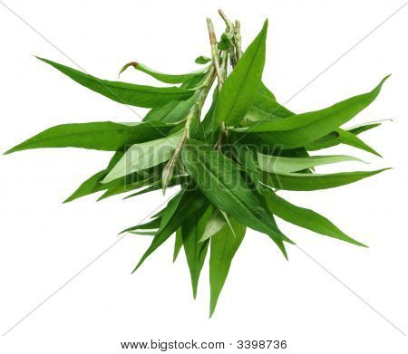 Hot Mint, Laksa Leaves