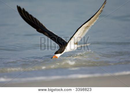 Black Skimmer Working On The Surf Near The Beach