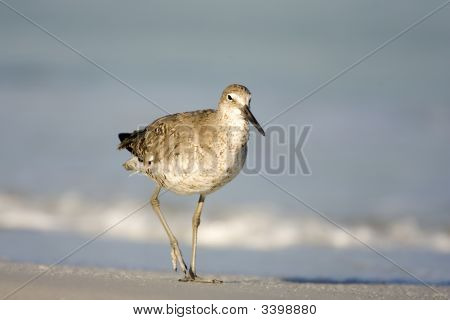 A Willet walks the shore line looking for food poster