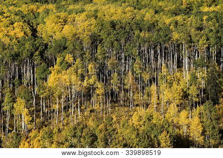 Autumn Aspen Color Near Crested Butte, Colorado