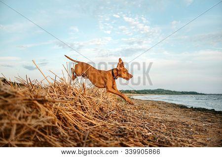 Hungarian Vizsla Dog Jumps On A Beach