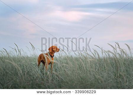 Beautiful Vizsla Dog Standing In Tall Grass