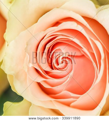 Delicate Pale Pink Rose. Perfect For Background Greeting Cards And Wedding Invitations, Birthday, Va