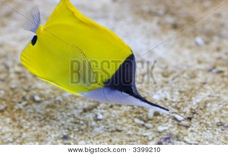 Pointed Nose Fish