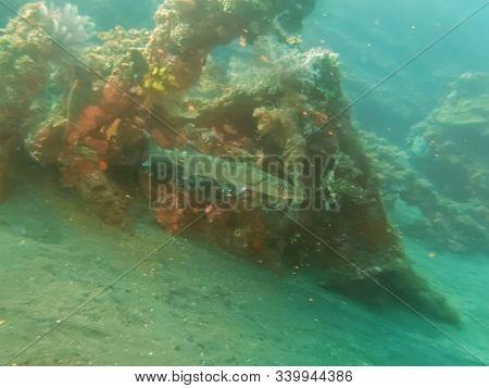 Barracuda At The Liberty Wreck In Tulamben On Bali