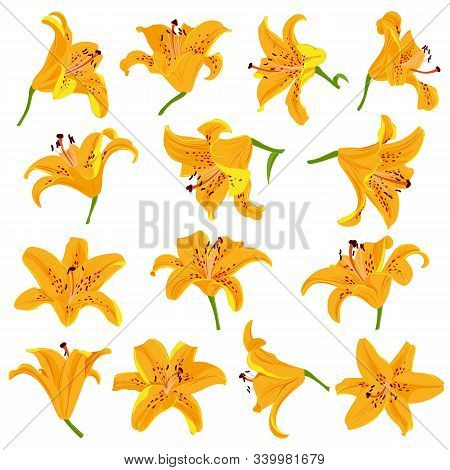 Vector Drawing Orange Flowers Of Lilies, Tiger Lily, Isolated Floral Elements At White Background, H