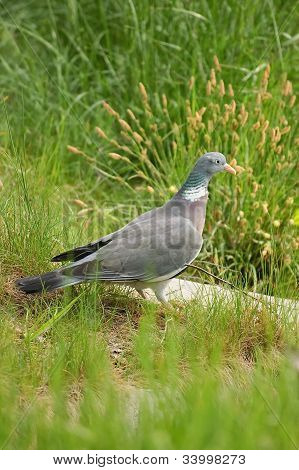 Pigeon in the grass