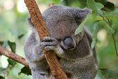 Koala bear sleeping on the tree branch poster