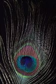 Macro of Peacock Feather showing upclose detail poster