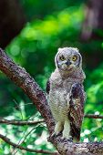 Spotted eagle owl sitting on a tree branch in Cape Town, South Africa poster