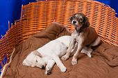White and brown saluki pups in an old basket poster
