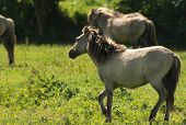 Herd of Konik horses in nature in sunlight poster