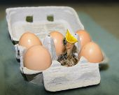 Hungry Baby Bird in an egg carton with brown eggs waiting for breakfast the egg carton is grey and the birds beak is bright yellow. poster