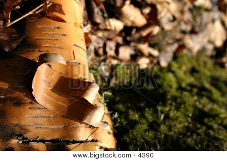 BirchBark And Moss