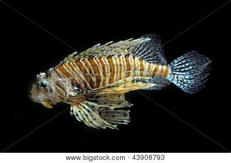 Lion fish on the black background