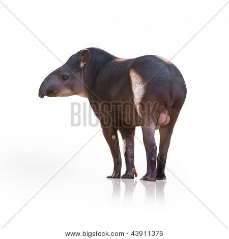 Portrait Of Tapir Isolated On White Background