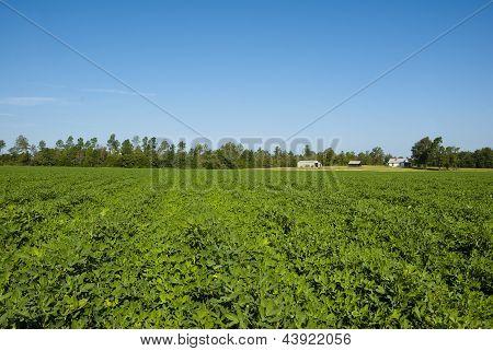 South Carolina Peanut Field