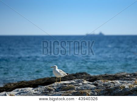 Seagull on a rocky beach , huge boat passing behind him on the horizont