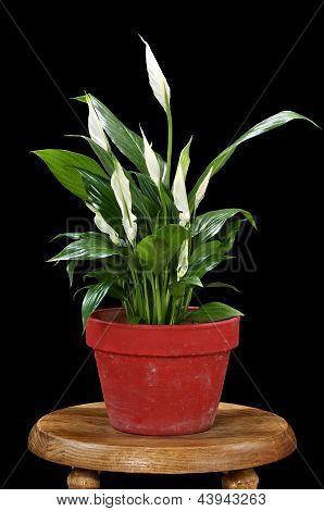 Spath Lily