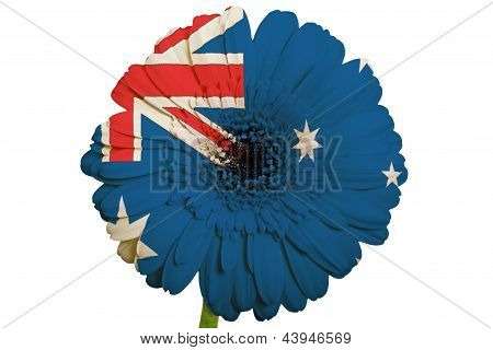 Gerbera Daisy Flower In Colors National Flag Of Australia   On White Background As Concept And Symbo
