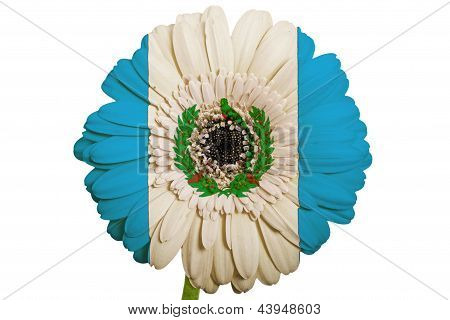 Gerbera Daisy Flower In Colors National Flag Of Guatemala   On White Background As Concept And Symbo
