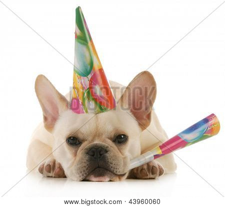 birthday dog - grumpy french bulldog wearing birthday hat blowing on horn isolated on white background