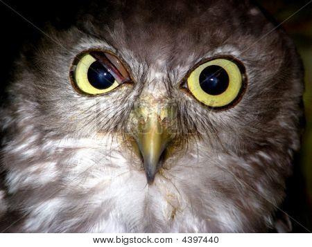 Owl Barking