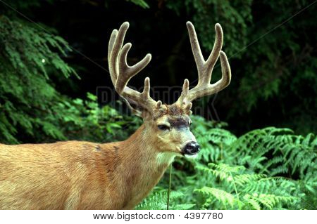 Blacktail Deer Buck