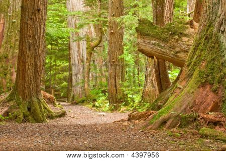 Trail In Old Growth Forest