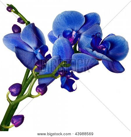 Blue Orchid phalaenopsis beautifiul flowers isolated on white poster