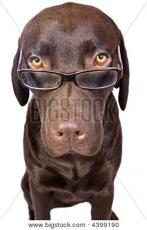 Intelligent Looking Labrador In Glasses