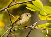 Photograph of a tiny Ruby-crowned Kinglet perched in a small tree with leaves showing a hint of fall color. poster