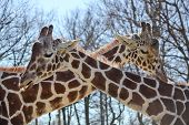 horizontal orientation close up of two giraffes with their long necks forming a letter X in outdoor setting on a sunny day with copy space poster