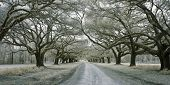 infrared photo of road lined with oak trees poster